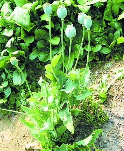 罂粟幼苗的生长图片